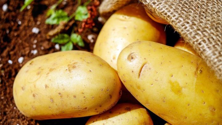 Каждому дачнику — высокий урожай: «Петровский» предложил северянам суперэлитный семенной картофель