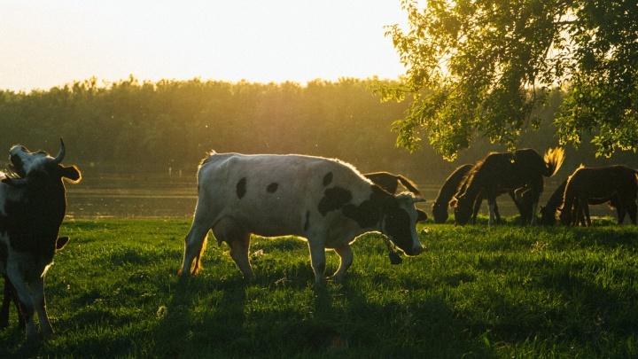 В Омской области массовая гибель коров — трупами животных оказалось завалено целое поле