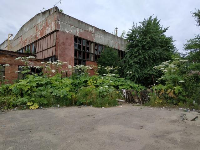 Борщевик яростно разрастается у заброшенных ферм. А это — бывший завод «Холодмаш» в Ярославле