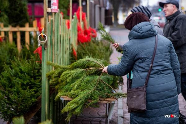 Ярославцы смогут купить на Новый год живую елку