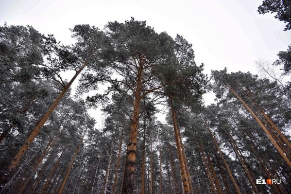 Земельный участок находится в сосновом лесу