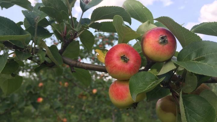 На острове Татышев в яблоневом саду на полмесяца раньше созрели ранетки