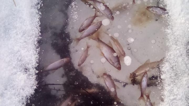 Житель Башкирии снял на видео сотни рыб, вмерзших в лед