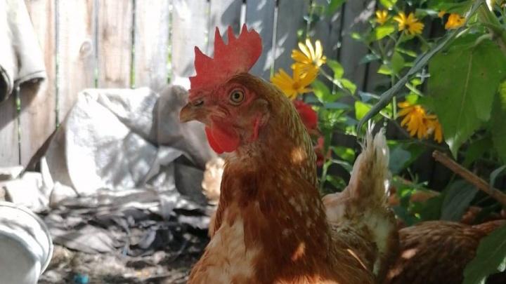 В Омской области на птичий грипп проверяют четыре птицефабрики