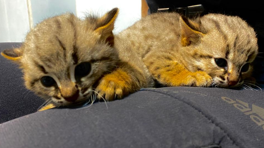 В зоопарке показали, как выглядят детеныши одной из самых крошечных кошек в мире (они ржаво-рыжего цвета)
