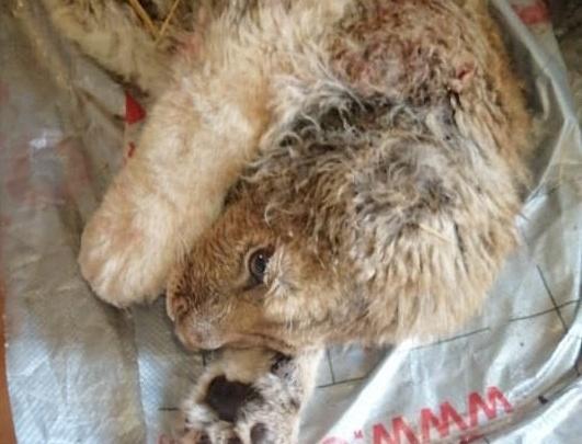 «Всё время мокрый в холодном сарае»: Карен Даллакян спасает львёнка, ставшего жертвой фотоживодёров