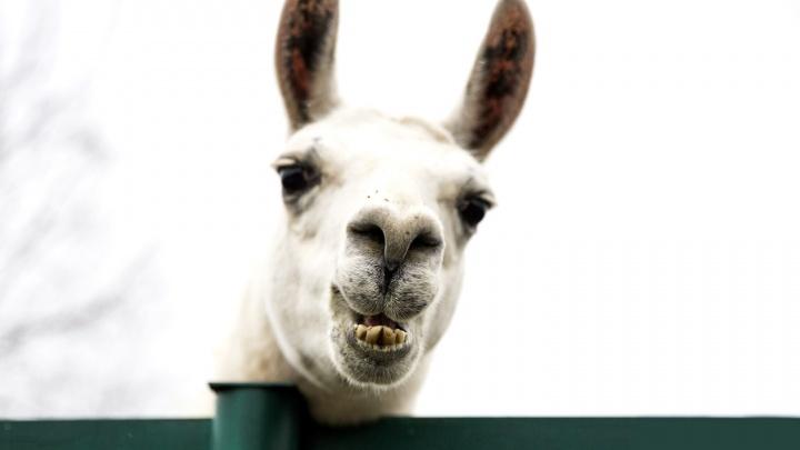 Не может определиться и ухаживает за обеими: в зоопарке ламе Санчо привезли сразу двух красавиц
