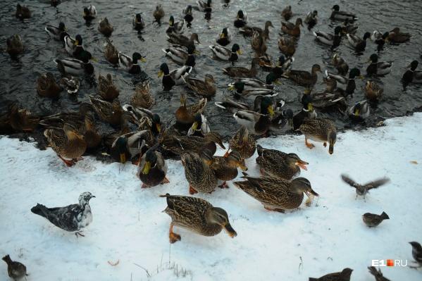 Даже утки в Екатеринбурге будто отвыкли от холодов и не спешат лететь на юг