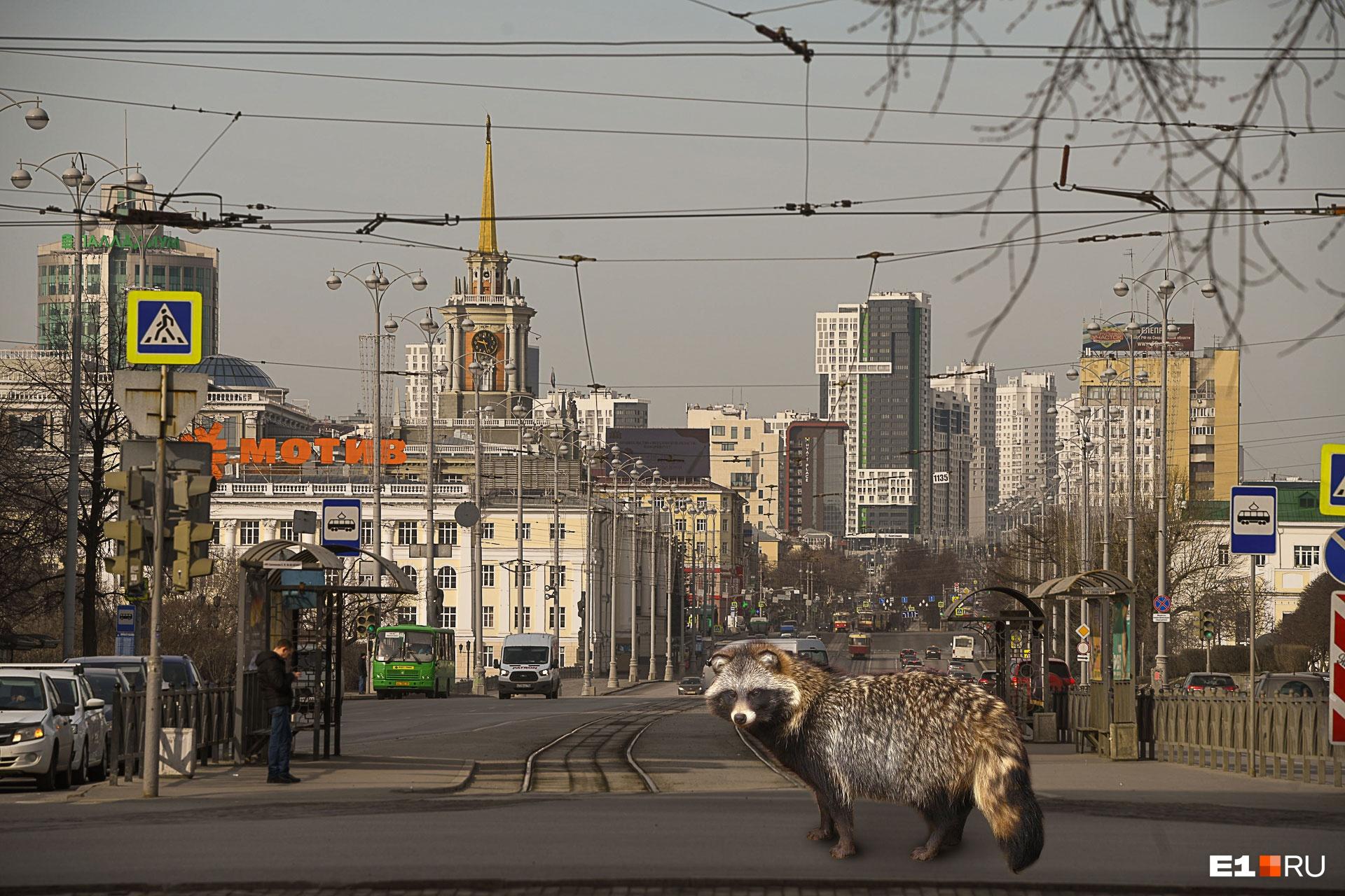 Енотовидная собака на проспекте Ленина