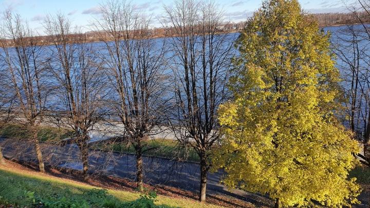 Есть научное объяснение: биолог раскрыла тайну вечнозеленой липы в Ярославле