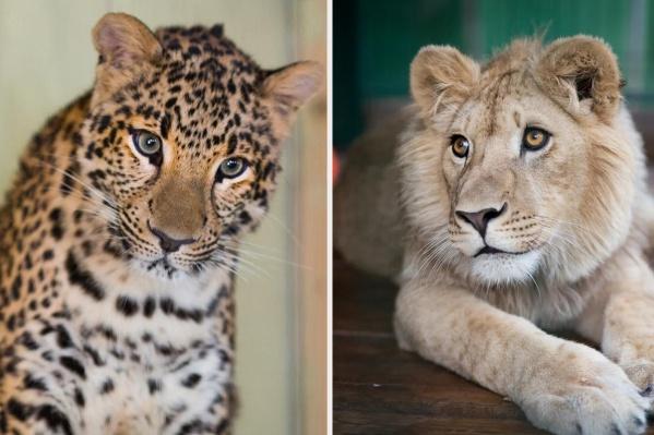 Еву привезли из передвижного зоопарка в Оренбургской области, где от неё отказалась мать, а Симбу спасли от хозяев из Дагестана, которые эксплуатировали его для фотосессий