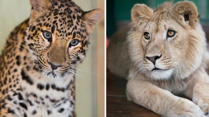 Львёнка Симбу и леопарда Еву, спасённых челябинским зоозащитником, отправят в Танзанию