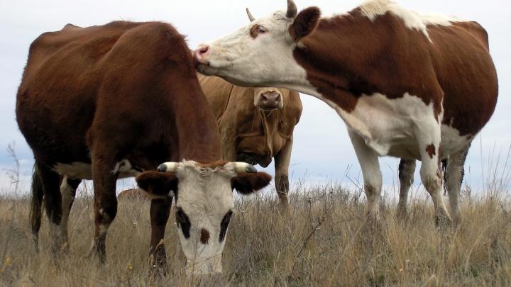 На границе Волгоградской области остановили 200 коров с опасной инфекцией