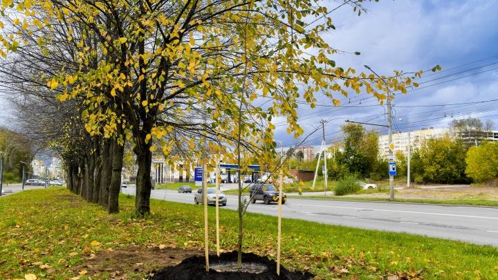 В парках, скверах, лесах и на улицах Перми высадят около 14 тысяч молодых деревьев и кустарников