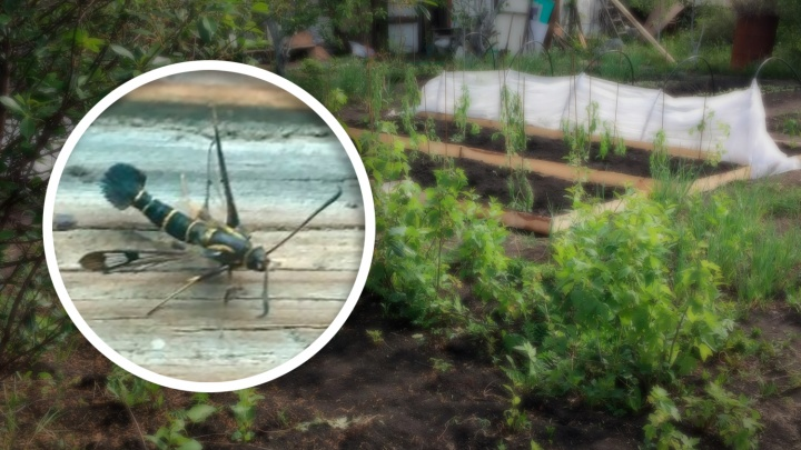 Найденное в садах мохнатое насекомое со щетинистым хвостом испугало челябинца