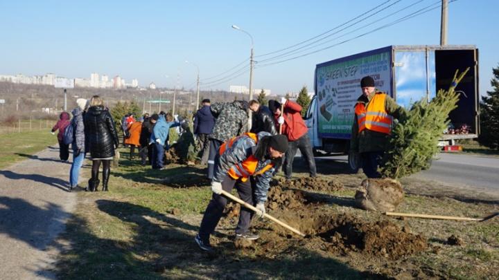 В Волгограде на Мамаевом кургане высадили 75 голубых елей