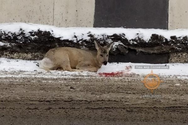 Фото из архива, эту косулю нашли в «Солнечном», после того как ее сбила машина на дороге