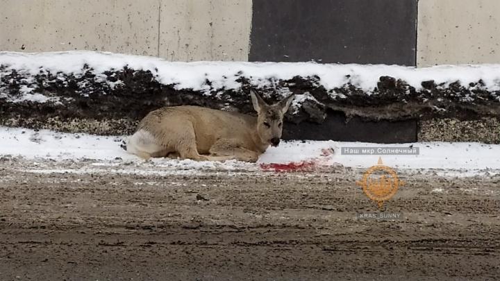 На территорию аэропорта Красноярск забежала раненая косуля