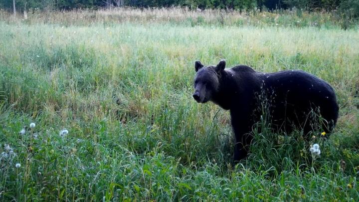 Нагуливают жирок: в Кенозерском парке засняли, как медведи наедаются перед спячкой