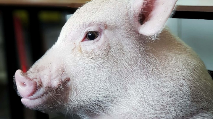 «Представляете, по улице свинья бегала»: в Волгограде нашли сбежавшего из дома мини-пига