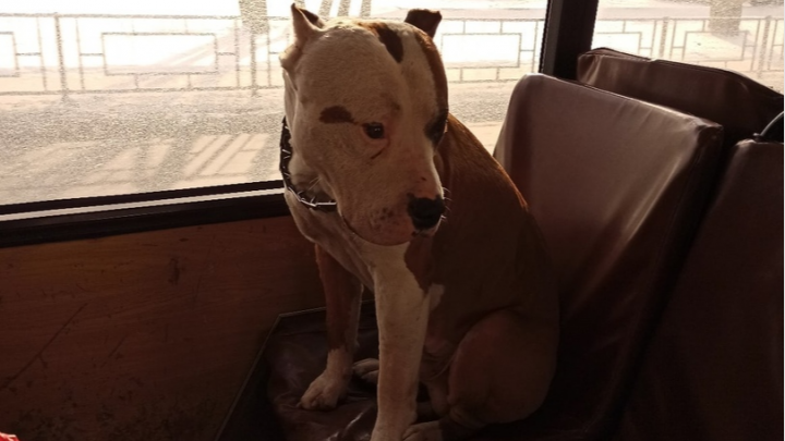 Грустный стаф ездил на сиденье в автобусе в поисках хозяина: собаку бросают не первый раз