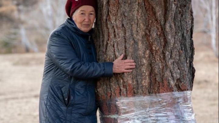 В башкирскую деревню, где вандалы спилили 400-летние лиственницы, приедут ученые