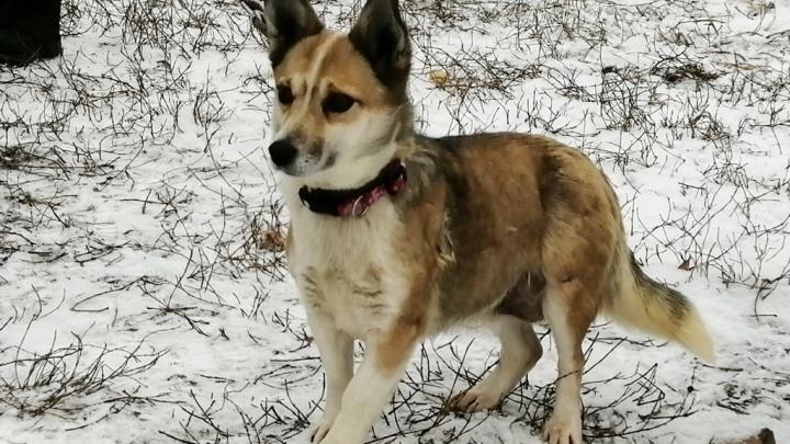 Омский приют спас собаку, в которую выстрелили семь раз