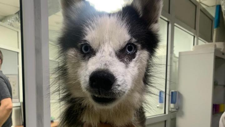«У него осталось очень мало попыток»: в приюте для хаски спасают пса со сложной судьбой