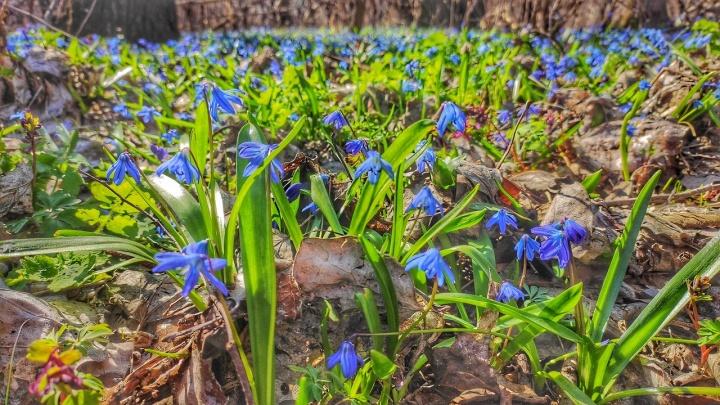 «Не высовывайте нос дальше дома»: волгоградцы насладились первоцветами до закрытия на изоляцию