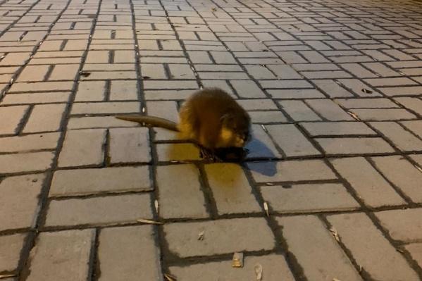 Зверек бегал в центре Екатеринбурга