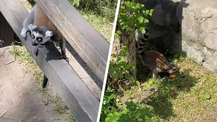 «Прогуливаются и возвращаются домой»: директор Новосибирского зоопарка объяснил вылазки лемуров из клетки