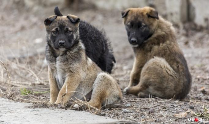 «Слава богу, порвали лишь куртку»: в Волгограде стая собак напала на девятилетнюю девочку