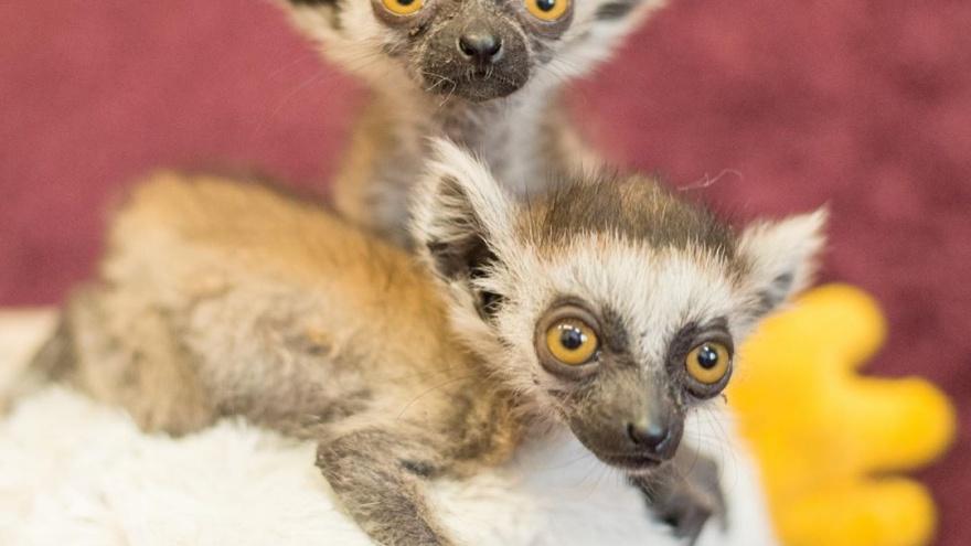 В ростовском зоопарке родились кошачьи лемуры, но мать отказалась их кормить