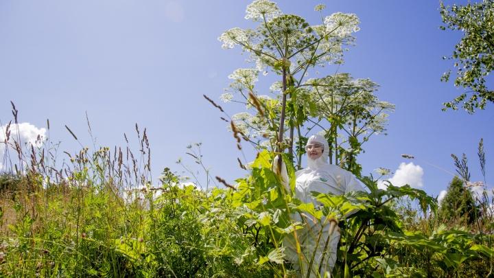 Вторжение борщевика: как ядовитое растение захватило Ярославль
