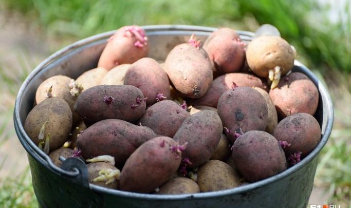На Урале в этом году вырастет больше ягод и картошки: предсказания аграриев