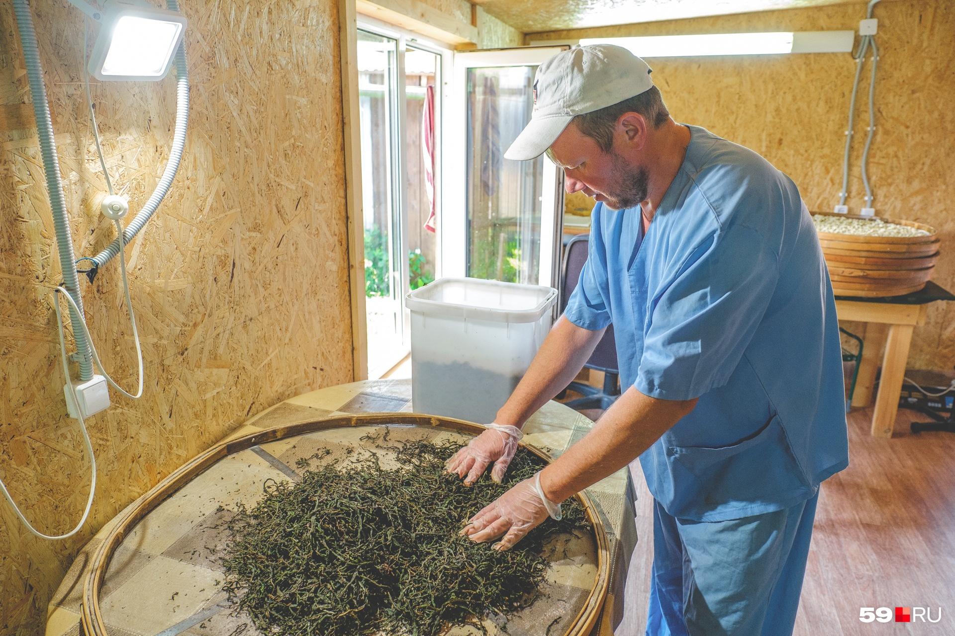Вадим раскладывает ферментированный иван-чай на поддоне для печи