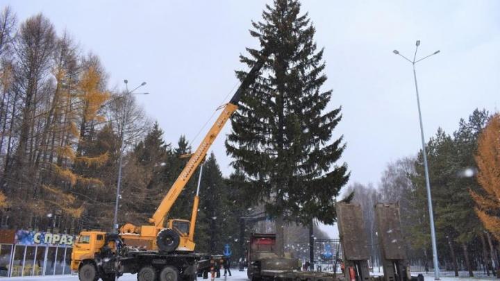 В Уфе установили первую живую новогоднюю елку