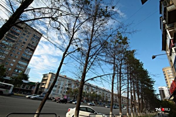 Новые деревья на проспекте Ленина высадят взамен погибших