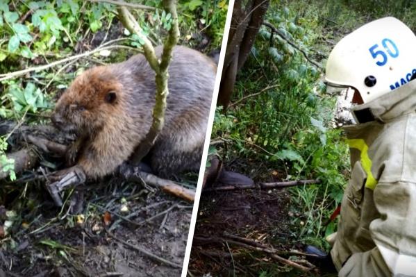 Спасатели аккуратно освободили лапу животного. Бобёр после этого убежал в лес