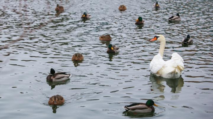 Кряквы, хохлатые утки и лебеди: любуемся серыми и белыми шейками на Теплом озере в Уфе