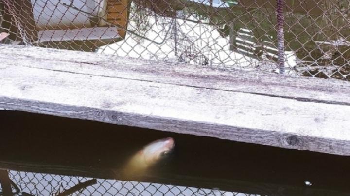 Массовой гибелью рыбы в Ангарском пруду Волгограда занялась прокуратура