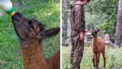 В Новосибирском зоопарке новорожденную ламу бросила мама