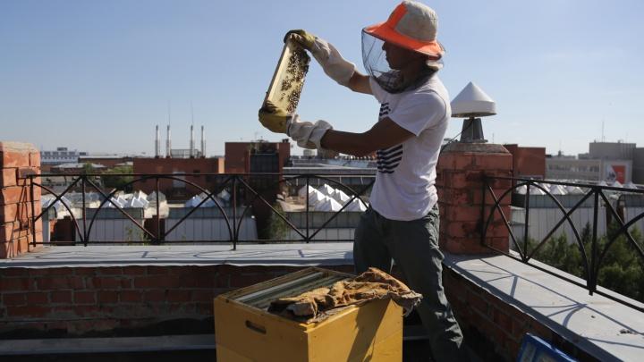 Урбанистический мёд: как омич разводит пчёл на крыше офисного здания
