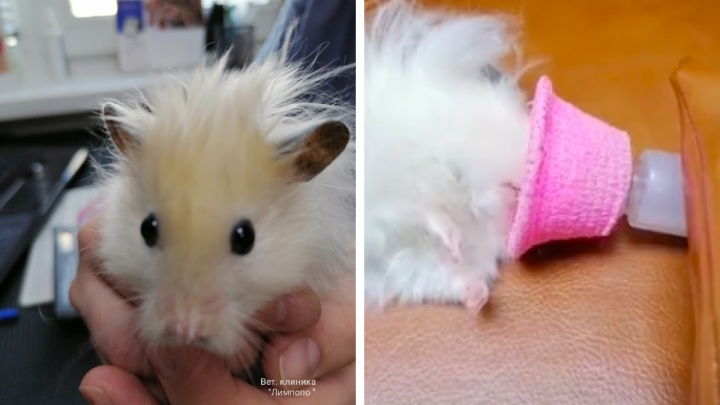 Красноярские ветеринары удалили опухоль молочной железы хомяку, введя его в наркоз
