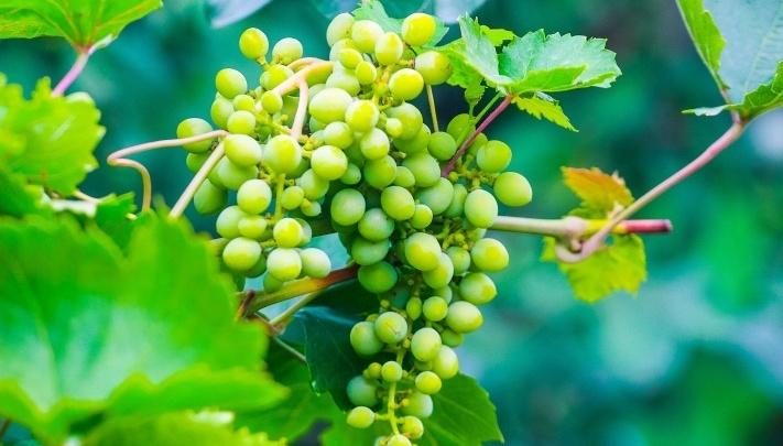 Под Волгоградом пройдёт виноградный фестиваль