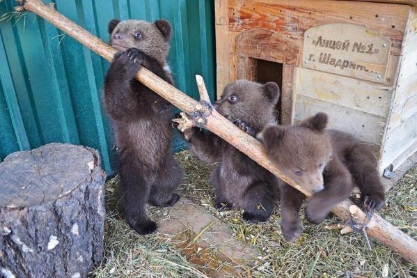 Самого большого медвежонка назвали Максимус, второго — Минимус, а девочку — Медея
