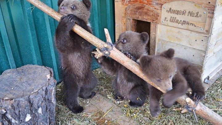 Выхоженные Кареном Даллакяном медвежата-сироты собираются в большое путешествие к тигру Жорику