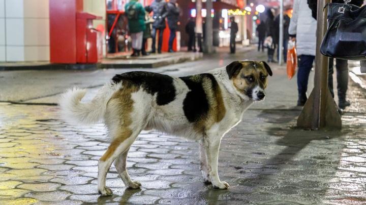 «Гавкнула одна — кинулась вся стая»: в Волгограде на мужчину напали бездомные собаки