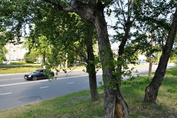 Деревья признаны аварийными