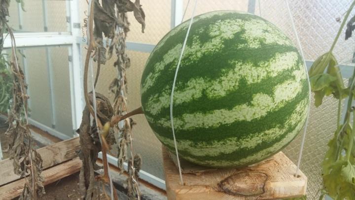 Такие же, как на юге: садоводы поставили на поток выращивание гигантских уральских арбузов